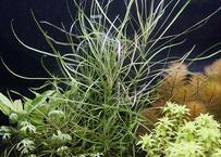 ポゴステモンsp.オクトパス (5本) 水中葉