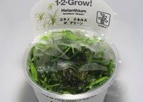 セール価格 エキノドルス テネルス sp.グリーン 1カップ 組織培養1-2-GROW! トロピカ社
