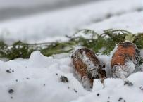 【ジュース用】甘み極上の雪下ニンジン「灯かり(ヒカリ)」10kg【訳あり品】