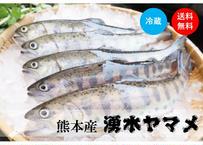 【阿蘇の幻!湧水ヤマメ】川魚の女王を贅沢5匹!活〆後即冷蔵配送!《KMJ01001》