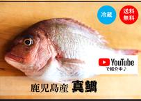 【堂々の真鯛】YouTubeで紹介中!漁師が捌いて真空パックで届くので調理も簡単♪鮮度も抜群!《KOJ01003》