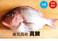 【堂々の真鯛】漁師が捌いて真空パックで届くので調理も簡単♪鮮度も抜群!《KOJ01003》