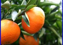 [予約価格] 希少品種「べにばえ」天草の芳潤なオレンジ(ご家庭向き)