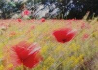 Coquelicots rouges II  赤いポピー n°2 (はがきサイズ)