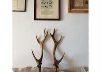 日本製 鹿の角