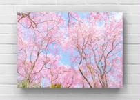 枝垂れ桜の世界
