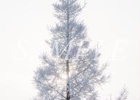 【№38】幻のWhite Xmas tree①