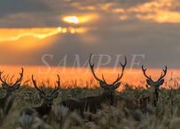 【№40】朝日を浴びた雄鹿たち