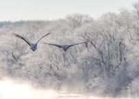 【№55】霧氷の中を飛ぶタンチョウ①