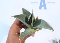 Agave pygmaea 'Dragon Toes'  M