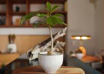 クッソニア スピカータ Cussonia spicata