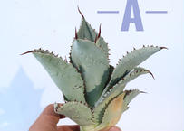 Agave pygmaea 'Dragon Toes'   L