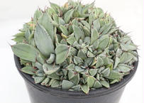 Agave parryi   'Bed of Nails'