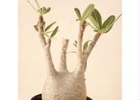 Pachypodium Gracilius パキポディウム  グラキリス  №4