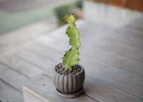 ユーフォルビア 大雲閣 Euphorbia acrurensis