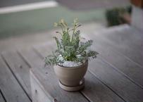 ぺラルゴ二ウム アッペンディクラツム  Pelargonium appendiculatum