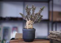Euphorbia beharensis