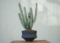 Euphorbia greenwayii
