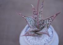 アロエ ドリアンフレーク Aloe rauhii 'Dorian-flake'