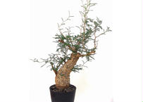 Operculicarya pachypus オペルクリカリア パキプス №1