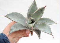Agave pygmaea 'Dragon Toes' PUP no.5