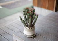 ユーフォルビア エノプラ Euphorbia enopla