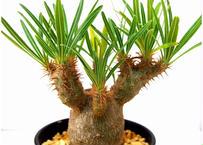 Pachypodium rosulatum   パキポディウム グラキリス 実生
