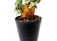 Ceraria pygmaea ケラリア・ピグマエア  №7