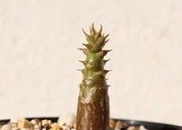 Pachypodium baronii var. windsorii パキポディウム ウィンゾリー 国内実生