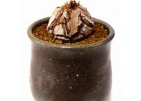 亀甲竜 ディオスコレア エレファンティペス  dioscorea elephantipes  №2