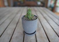 鉄甲瑠璃晃 ( bupleurifolia)×( susannnae)