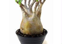 Pachypodium Gracilius パキポディウム  グラキリス  №5