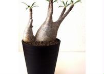 Pachypodium Gracilius パキポディウムグラキリウス
