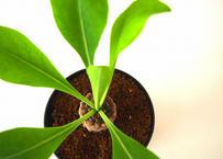 Euphorbia bupleurifolia 鉄甲丸  №3