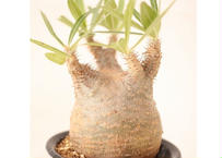 Pachypodium Gracilius パキポディウム  グラキリス  ワイルド傷有