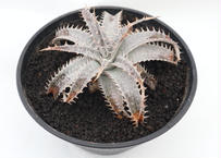 ディッキア dyckia (Arizona x ML) x DelicataGF1