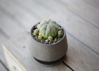 ユーフォルビア オベサシンメトリカ Euphorbia obesa ssp. symmetrica