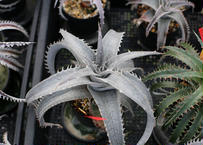 Dyckia mini monster