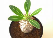 パキポディウム ロスラーツム  Pachypodium rosulatum