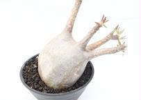 パキポディウム グラキリス no.90