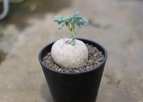 ヤトロファ ベルランディエリ 錦珊瑚
