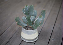 ユーフォルビア 白角キリン Euphorbia resinifera