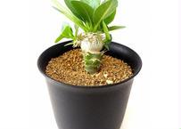 Pachypodium brevicaule albiflorum  パキポディウム 恵比寿笑い