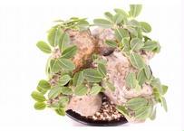Pachypodium brevicaule パキポディウム  ブレビカウレ 恵比寿笑い  no.2 大株