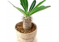 Pachypodium densiflorum パキポディウム デンシフローラム シバ女王の玉櫛