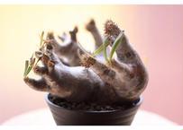 Pachypodium inopinatum  パキポディウム イノピナツム  未発根