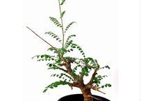 Boswellia neglecta ボスウェリア・ネグレクタ