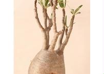 Pachypodium Gracilius パキポディウム  グラキリス  №2