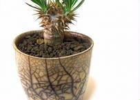 パキポディウム デンシフローラム  シバ女王の玉櫛 Pachypodium  densiflorum  france pot