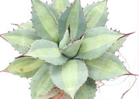 Agave Parryi Excelsior アガベ 吉祥天